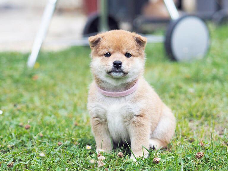 日本 犬 種類